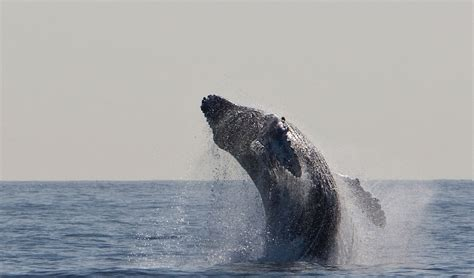 Humpback Whale Jumping Breaching · Free photo on Pixabay