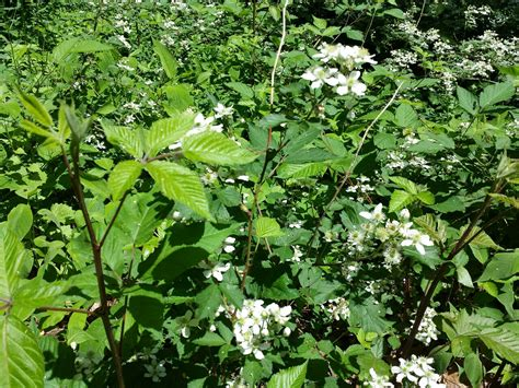 berry shrubs flowering berry bushes pictures to pin on pinterest pinsdaddy