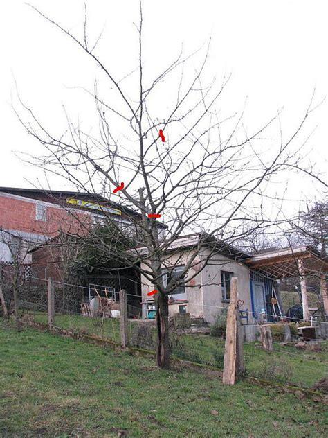 alte kirschbäume schneiden kirschbaum schneiden vorher nachher