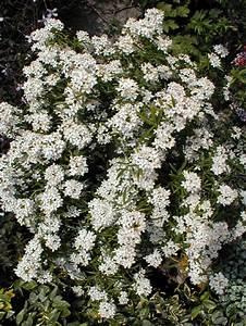 Petit Arbre Persistant : petit arbre a fleur blanche les plantes des cevennes ~ Melissatoandfro.com Idées de Décoration