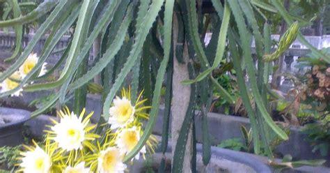 wana bekti handayani group tanaman hias  pohon buah naga