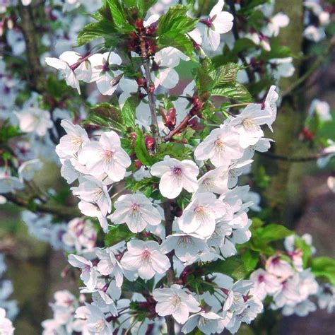 prunus flowering cherry prunus snow goose buy cherry blossom tree flowering