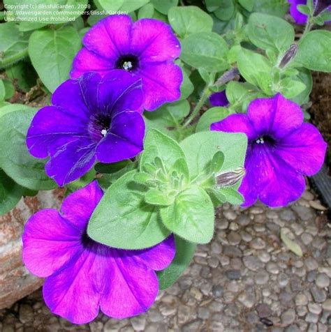 easy wave petunias plantfiles pictures petunia multiflora petunia easy wave blue petunia by blissfulgarden
