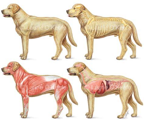 veterinary laurie okeefe illustration
