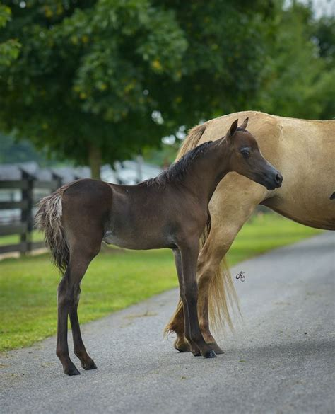 miniature horses horse bay arabian mini mature amir azraff rfm amhr amha minihorsesales princeling al tall ponies