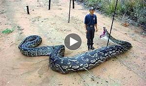 Giant Snake Eat Man? Huge Snakes and Humans - superanimalclip