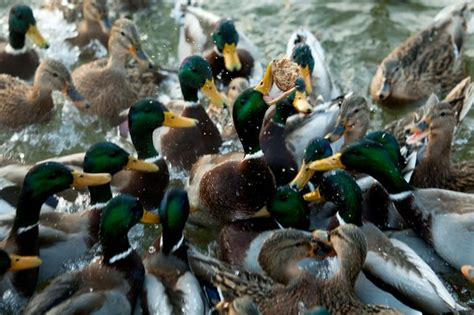what to feed ducks 3 reasons why you shouldn t feed bread to ducks mnn mother nature network