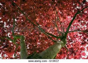 Ahorn Rote Blätter : acer palmatum atropurpureum der bl tter im herbst stockfoto bild 126640687 alamy ~ Eleganceandgraceweddings.com Haus und Dekorationen