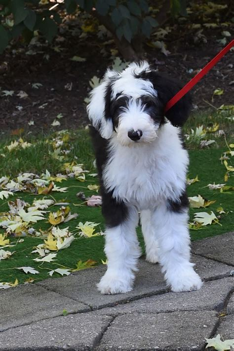 Sheepadoodles Feathers And Fleece My Dogs Pinterest Feathers