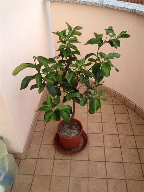Limone In Vaso Cure by Consigli Per Agrumi Pi 249 Forti Le Cure Indispensabili Per