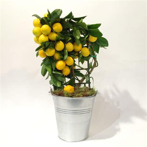 citronnier saisons