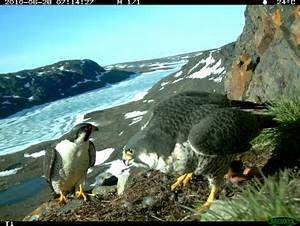 Foraging ecology of arctic peregrine falcons | Barry Robinson