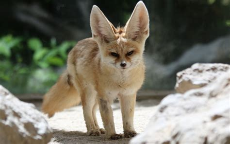 Zorro Animal Wallpaper - 13 excellent hd fennec fox wallpapers