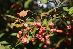 Giftpflanze Mit Stacheliger Frucht : gew hnliches pfaffenh tchen euonymus europaeus die ~ Eleganceandgraceweddings.com Haus und Dekorationen