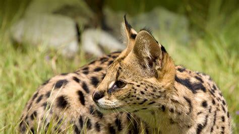 Serval  San Diego Zoo Animals & Plants