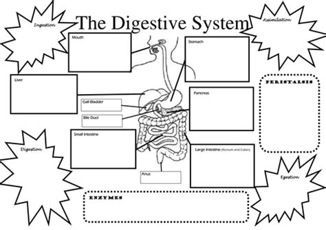 structure  function  digestive system