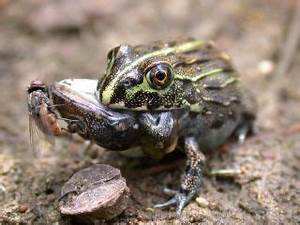 Kermit the Cannibal? Frogs Sometimes Eat Each Other | Live ...