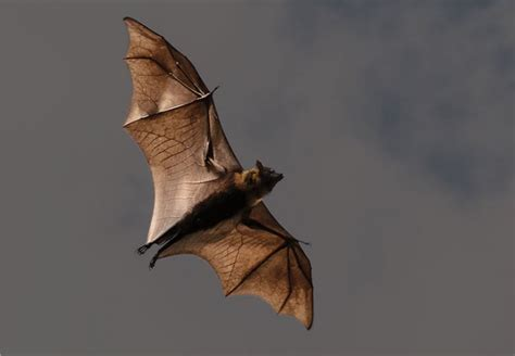 bat conservation why it matters and what you can do