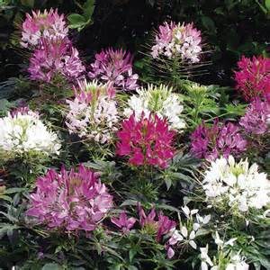 flowers free delivery cleome plants sparkler