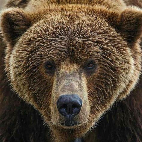 Grizzly Bear Face Close Up