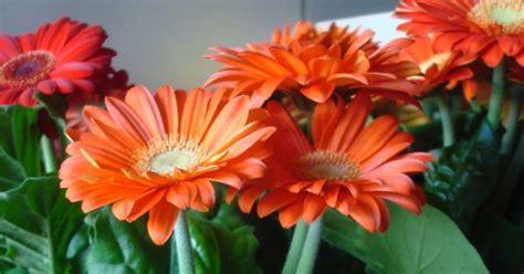 gerbera en pot fleuriste isabelle feuvrier le gerberas en pot