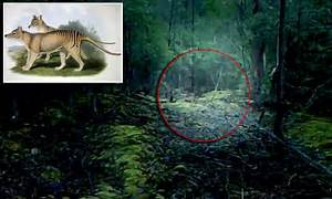 Hobart footage to show the Tasmanian Tiger still exists ...