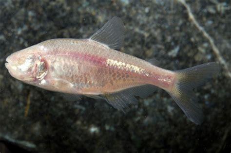 blind fish menu blind cave tetra knowledge base lookseek