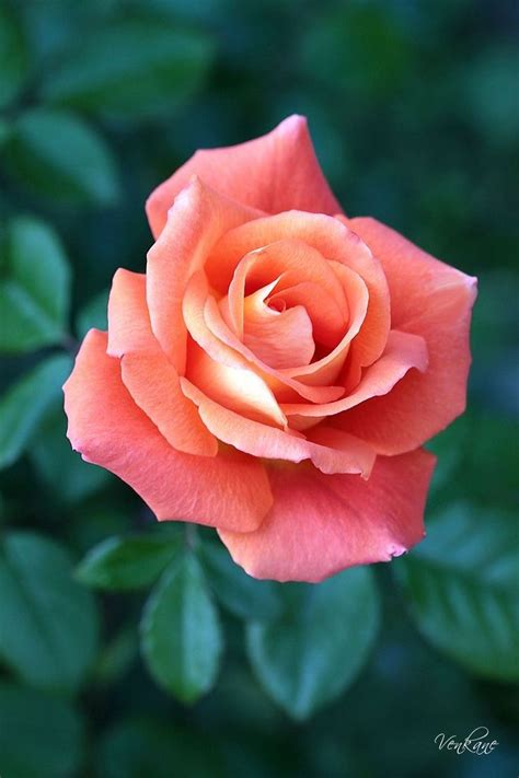 roses best best 25 coral roses ideas on pinterest peach rose coral wedding flowers and baby shower