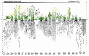 Native plants have deep root systems   Landscaping ...