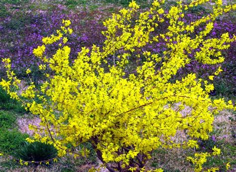 yellow blooming bushes yellow bushes and shrubs planting shrubs with forsythia flowers in bright yellow color png