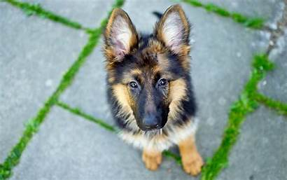 Shepherd German Screensavers Dog Wallpapers Wallpapersafari