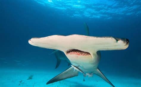 shark species  lurk   mediterranean