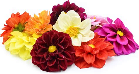 most beautiful flower arrangements dahlia flowers information and facts