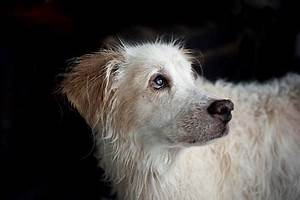 Cataracts In Dogs Symptoms Causes Diagnosis Treatment ...