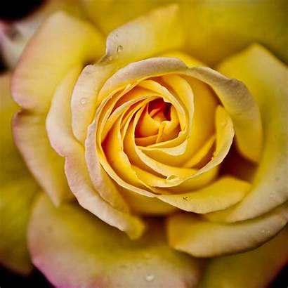 Ipad Wallpapers Rose Yellow Retina Air Nature