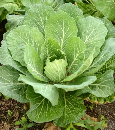 grow greens growing collard greens www risingkalefarms com