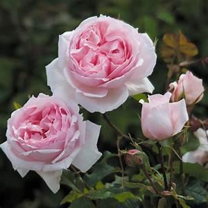 The Wedgwood Rose - Climbing Roses