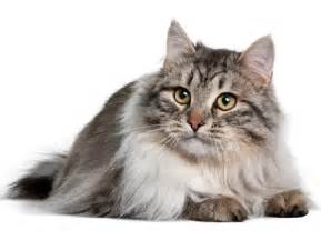 siberian cat the siberian cat cat breeds encyclopedia