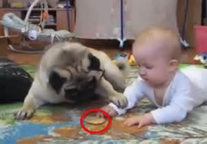 Very Cute Baby Pugs