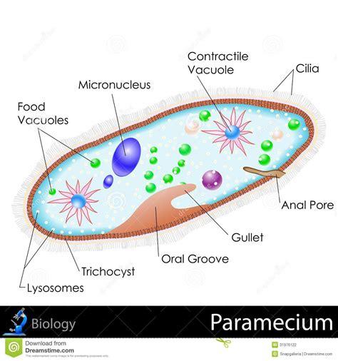 paramecium diagram stock vector image  contractile