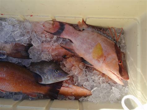 grouper fish angry snapper dock adventures