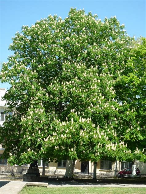 chestnut trees in horse chestnut tree pictures facts on the horse chestnut tree species