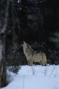 Wolf, Howling, In, Snow, Stock, Photo, Image, Of, Canine, Mammal