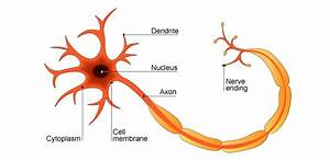 Nerve Cells And Synapses  Grade 9 Understanding For Igcse