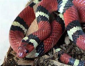 Kingsnake - Wikipedia