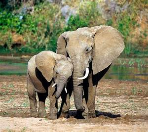 Mother And Baby Elephant Pictures - Free Clipart