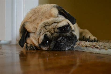 sad pug     day  moved    sad