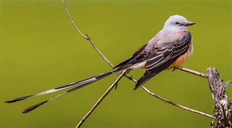 scissor tailed flycatcher audubon field guide
