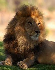 Wild Animals Lions