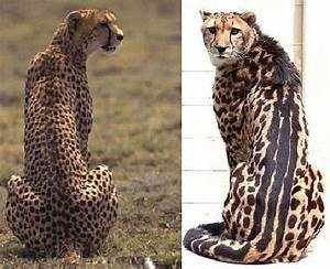 Cheetah Facts | Coats, Coat patterns and The o'jays
